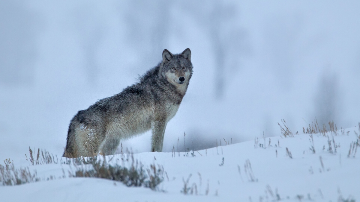 How the Gray Wolf Made a Wild Revival in Yellowstone