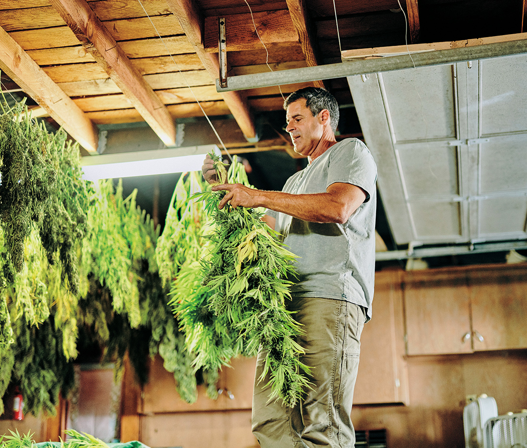 Grower Johnny Casali hangs freshly harvested product.