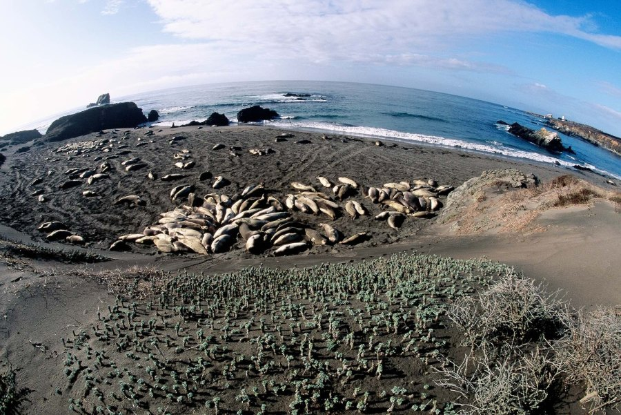 Elephant Seals at San Simeon