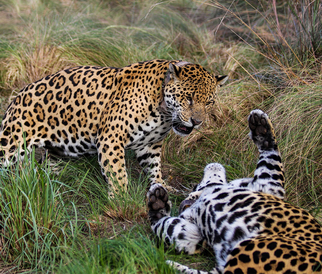 Iberá may soon be one of the best places to see jaguars in the wild