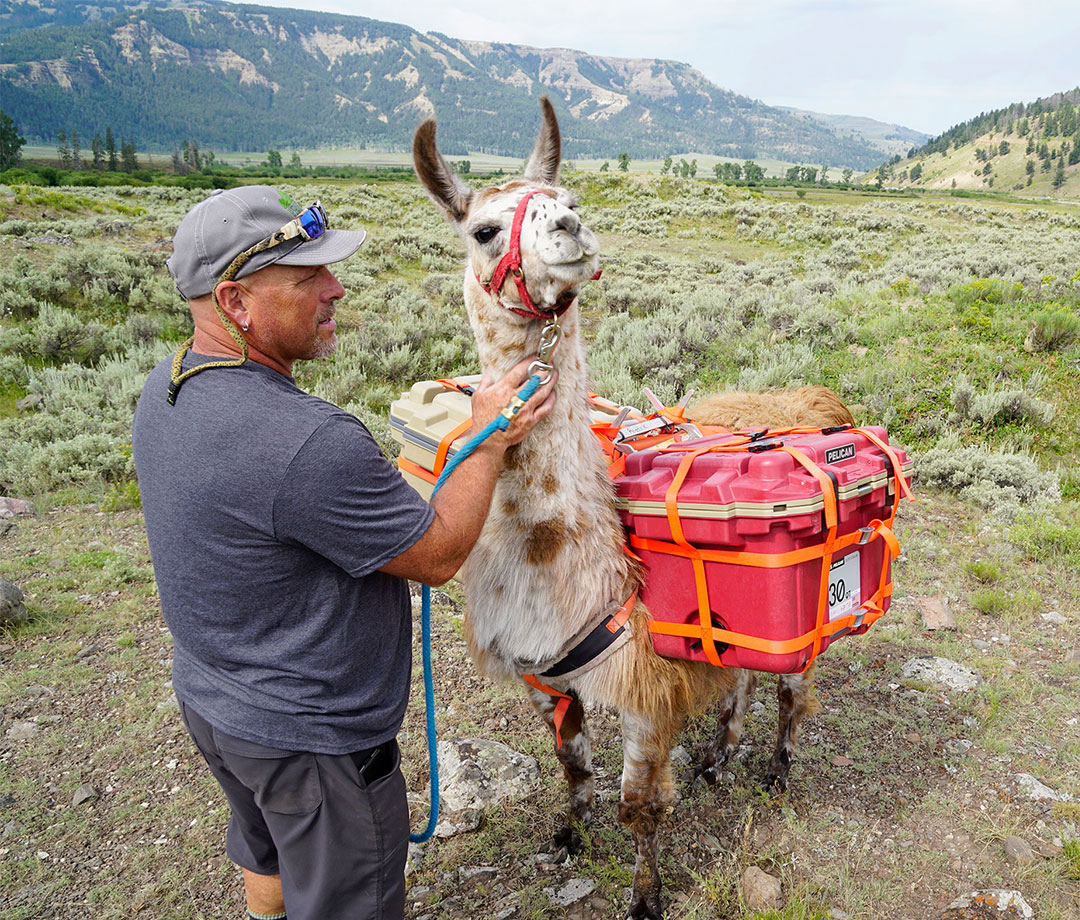 Llama-packing in Yellowstone National Park