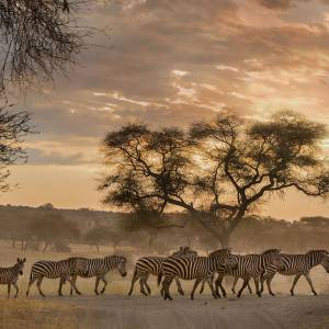A dazzle of zebras at sunset.