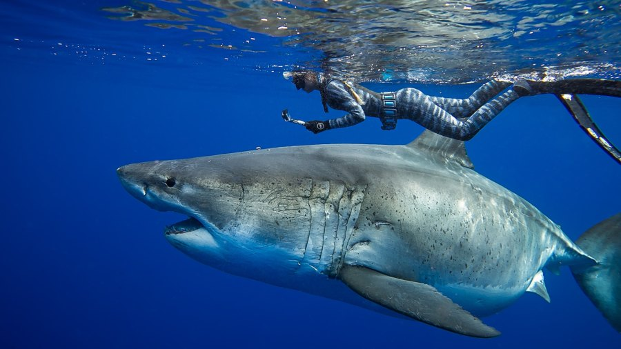Great white shark swimming with sharks Ocean Ramsay