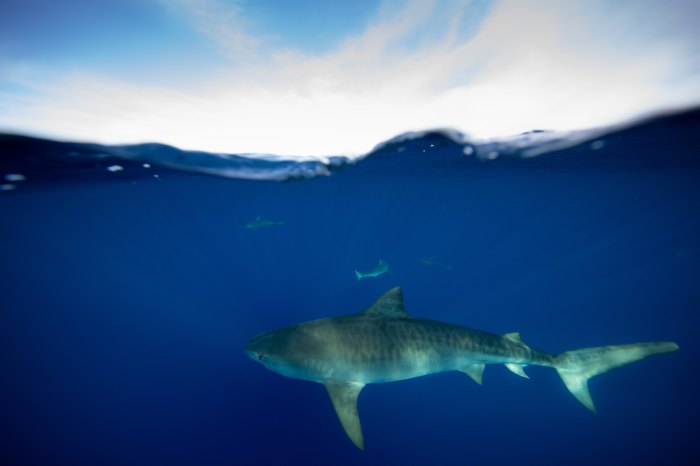 Swimming with Sharks Ocean Ramsay Hawaii great white sharks