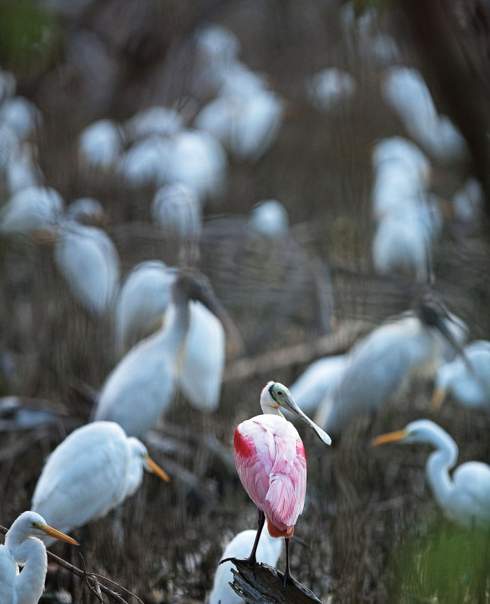 A roseate spoonbill among wood storks and great egrets.