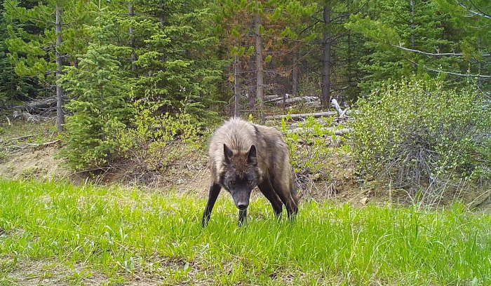 It's not just bears being disturbed by mountain bikers.