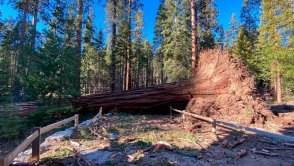 This photo provided by Yosemite National Park shows a fallen giant sequoia that came down during the Mono wind event on in Yosemite National Park.