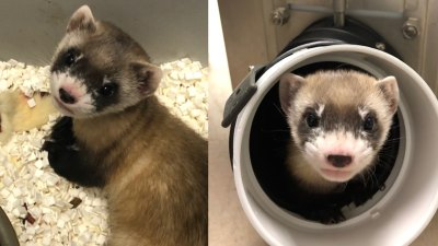 Elizabeth Ann, the first cloned black-footed ferret and first-ever cloned U.S. endangered species, at 48-days old.
