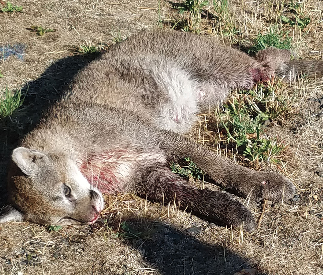 Catalyst: After this cougar was killed, the hunts began in earnest.