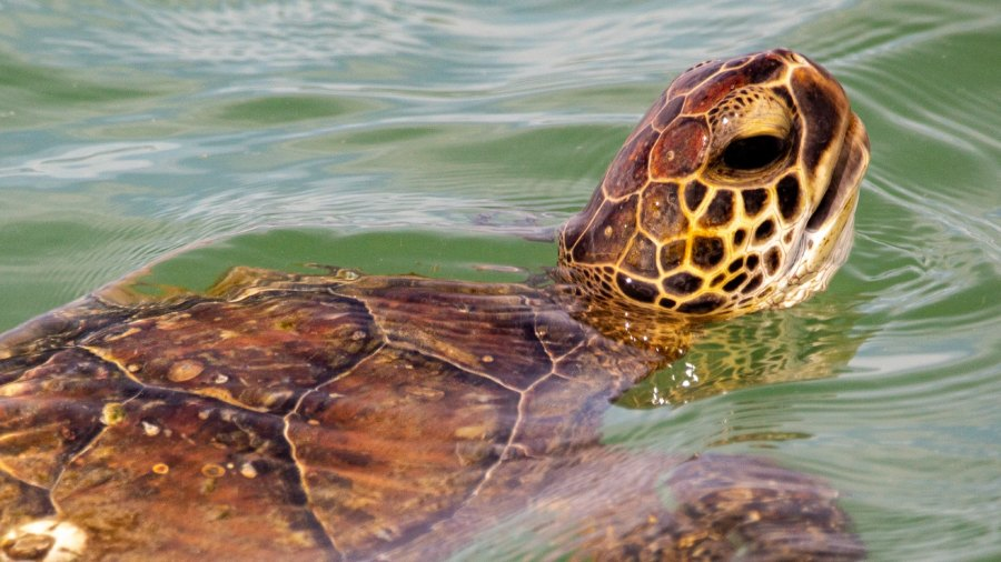 Off the coast of Texas, a sea turtle floats in the Gulf of Mexico off Texas. Texas.