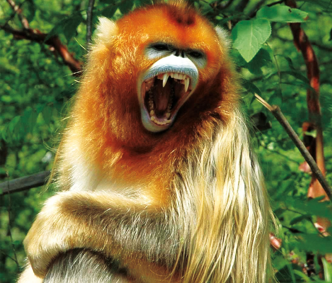 Golden monkeys of Shennongjia will become parts of a national system.