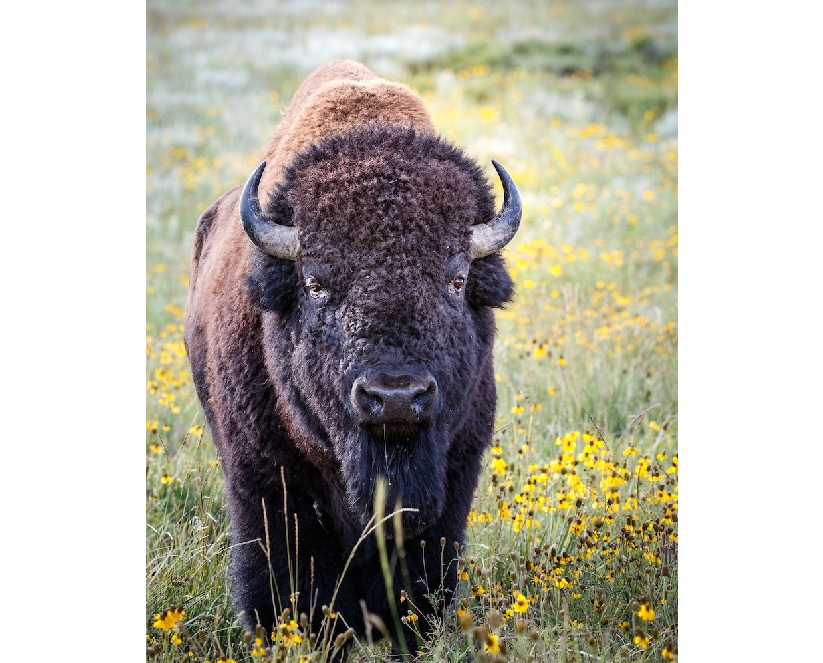 Adult bison standing in field of flowers