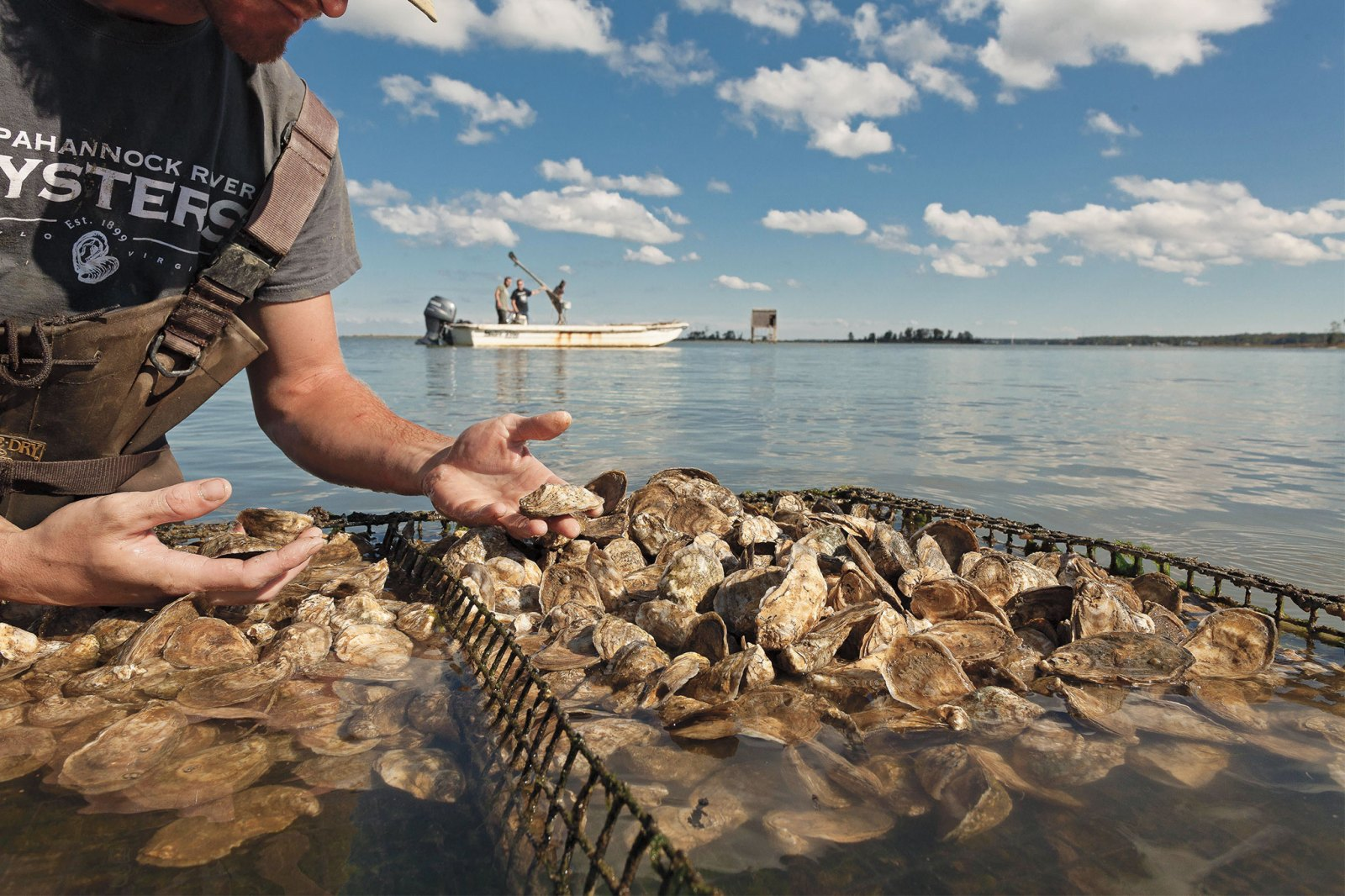 Man oyster farming, holding oyster in hand with boat in the background