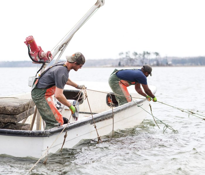 Two oystermen hauling up oyster grow cages from water on boat