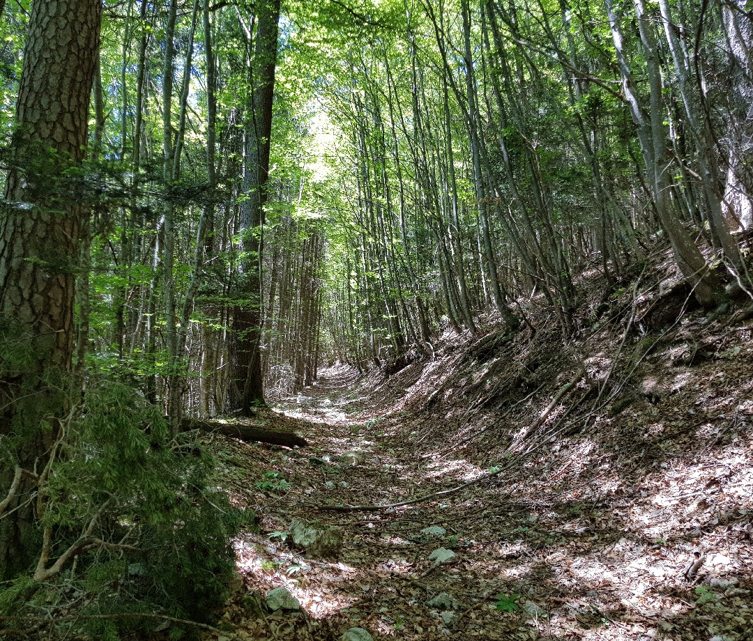 A trail leading through an ancient beech forest in Europe.