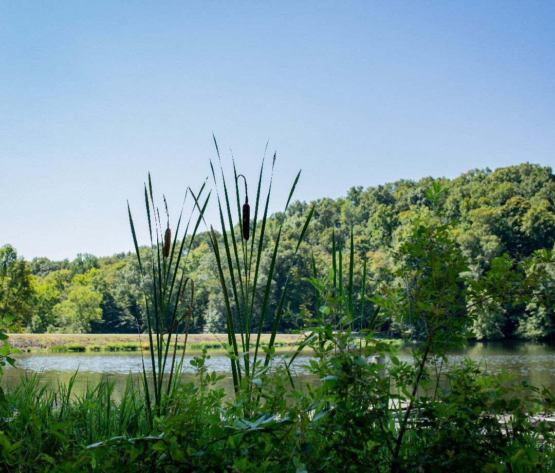 A view of a lake in Southern Indiana with cattails in the foreground and a small forested hill in the background.