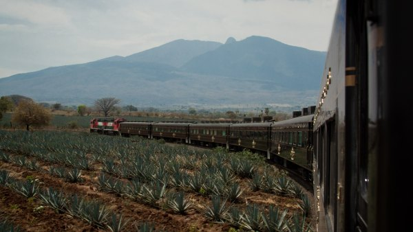 The Jose Cuervo Express train travels past a field of blue agave plants.