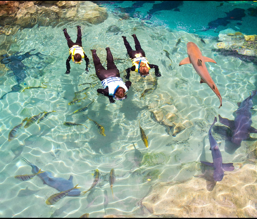 A family snorkeling next to small sharks.