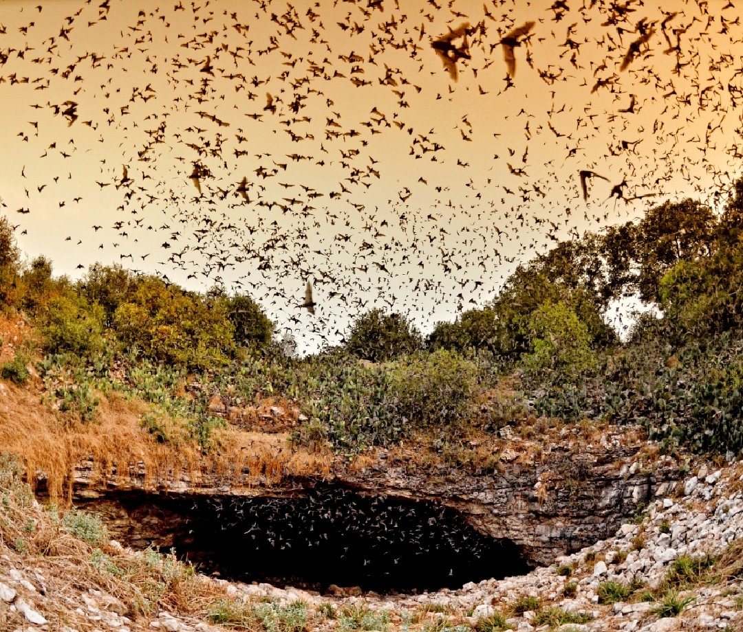 Many, many bats fly around the entrance of Bracken Cave in Texas.