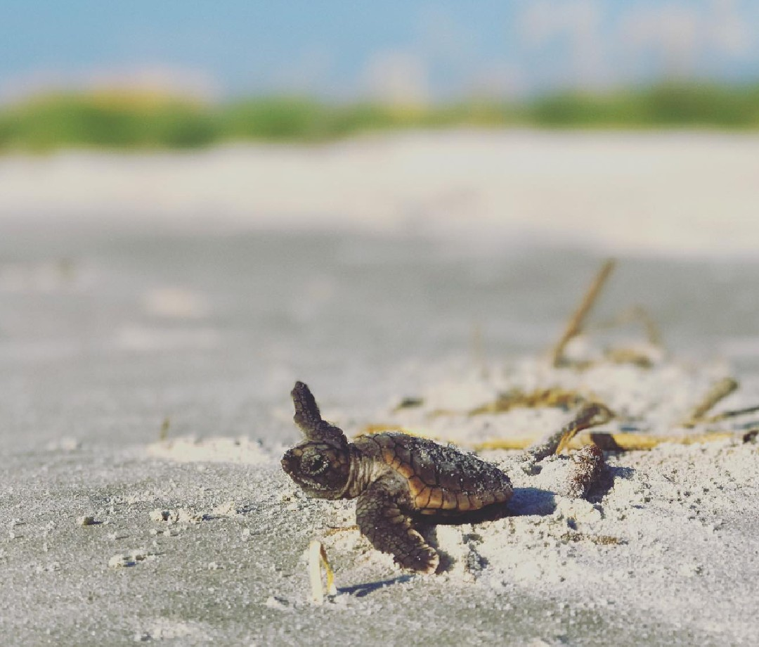 A baby sea turtle struggles toward the water.