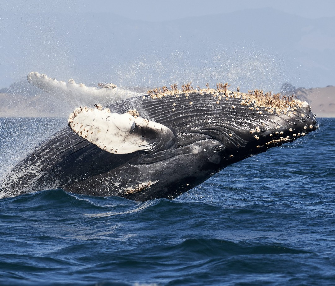 Humpback whale breaching out of water in California