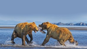 Grizzly bears fighting over salmon in water