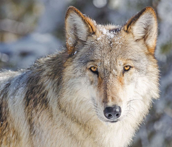 Close-up of a wolf