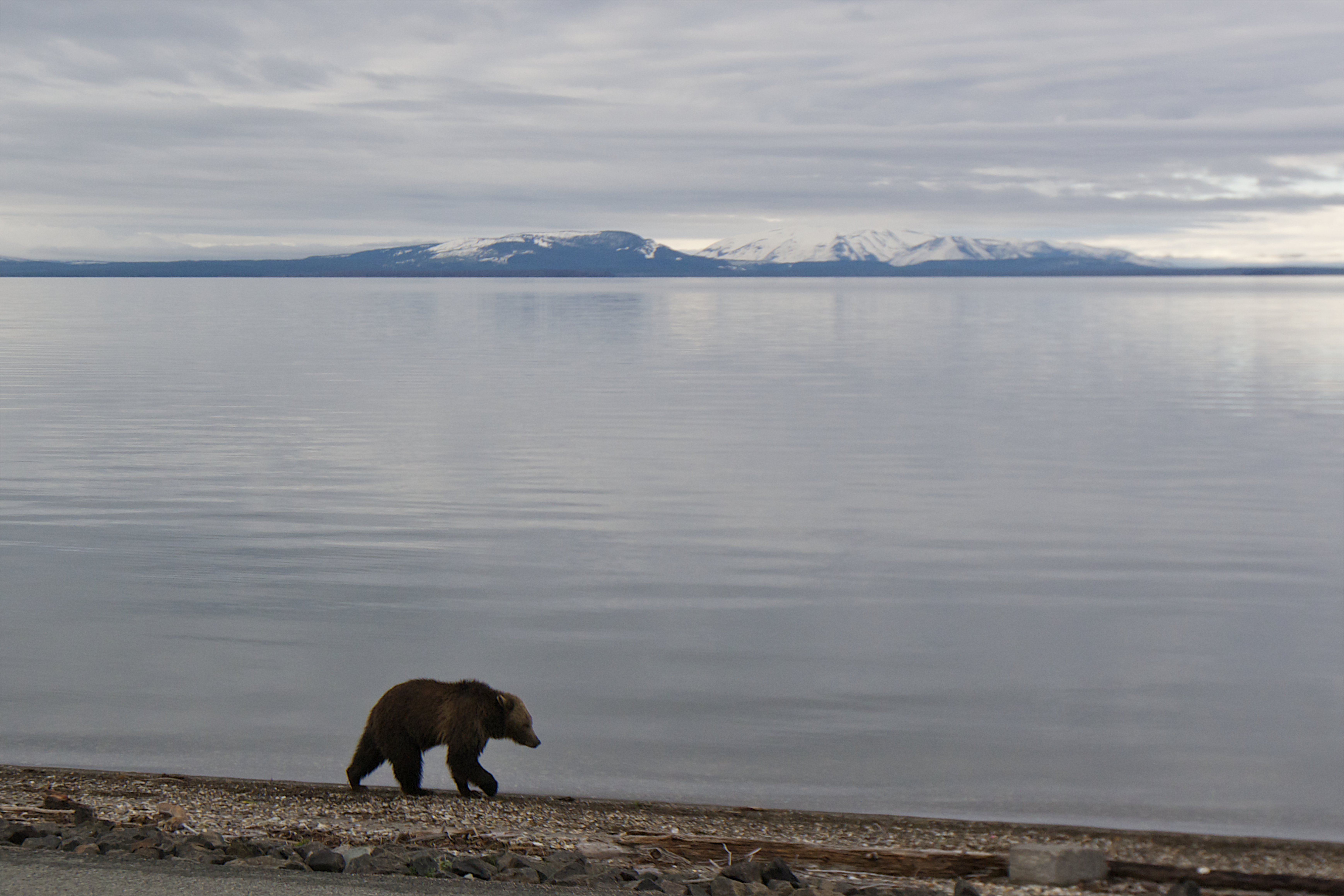 Is Yellowstone's Grizzly Bear Population Doomed