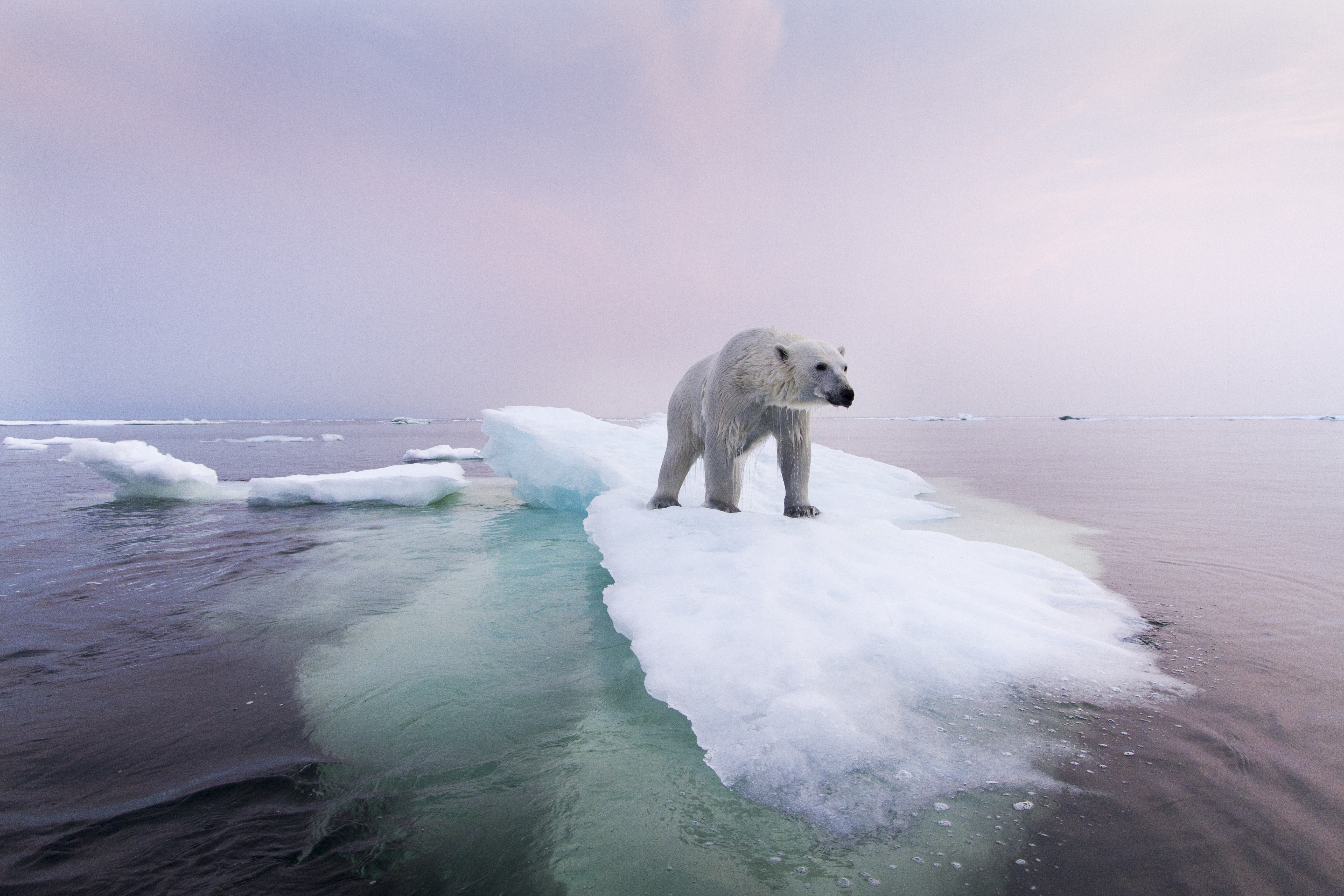"""Plight of the Polar Bear: """"The Entire Ecosystem Is Failing in Front of Our Eyes"""""""