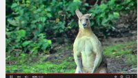 Shredded Kangaroo Shows Off Massive Muscles