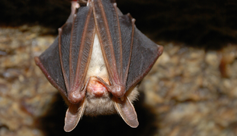 Bat Flu Could Pose Risk to Humans