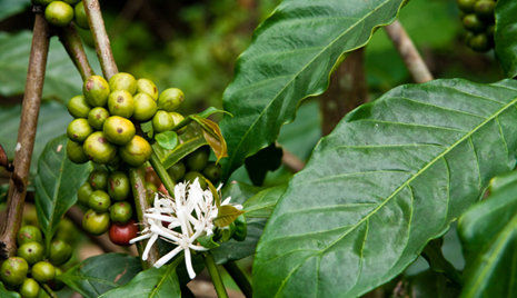 Supplement Spotlight: Green Coffee Bean Extract