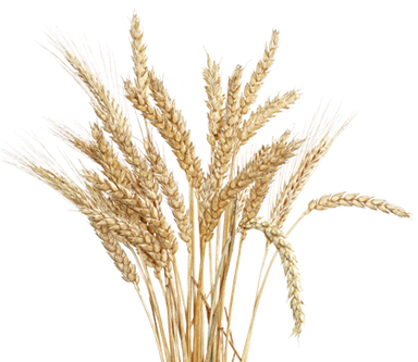 Is Wheat Toxic?