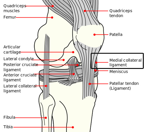Major ligaments in the knee / via Wikimedia Commons