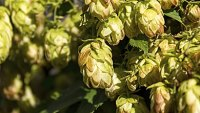 mj-390_294_a-beer-drinkers-guide-to-hops