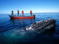 mj-390_294_a-blind-date-with-a-gray-whale