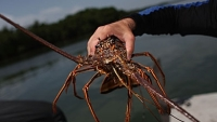 mj-390_294_catch-your-own-lobsters-from-the-seafloor