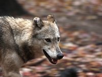 mj-390_294_joining-michigans-wolf-pack-on-isle-royale