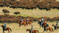 mj-390_294_running-with-the-buffalo-in-south-dakota