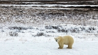 mj-390_294_seeing-and-saving-polar-bears-in-the-wild