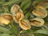 mj-390_294_should-we-all-stop-eating-almonds