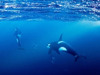 mj-390_294_snorkeling-with-orcas-in-norway