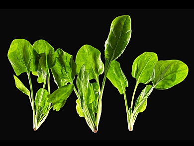 mj-390_294_spinach-power