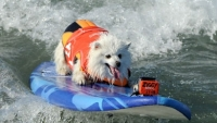 mj-390_294_surf-city-surf-dogs