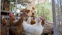 mj-390_294_the-case-for-keeping-hens