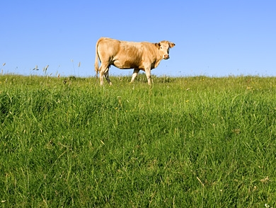 mj-390_294_trouble-drinking-milk-try-a-new-cow-breed