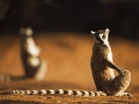mj-390_294_visiting-the-island-of-lemurs