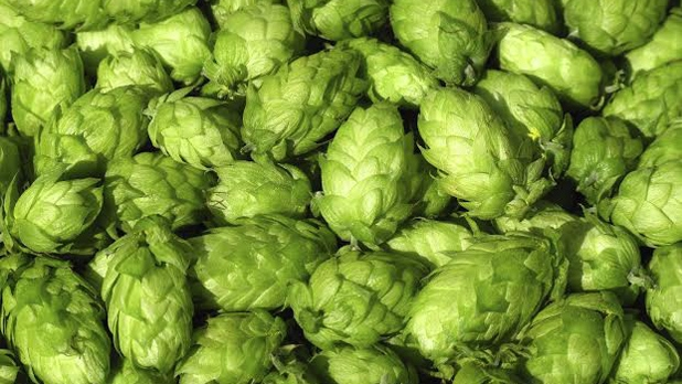 mj-618_348_20-things-you-didnt-know-about-hops