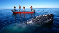 mj-618_348_a-blind-date-with-a-gray-whale