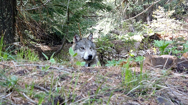 A Radio-collared Teanaway Pack wolf